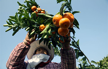 Harvest scene in south China's orange orchards