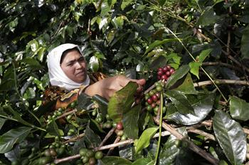 Gayo arabica coffee beans picked in Aceh, Indonesia