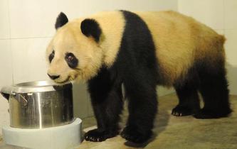 """大熊猫""""蜀兰""""回到家乡四川"""