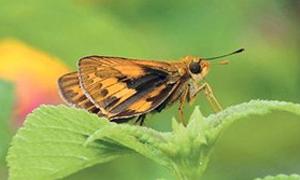 香港邊界禁區一帶發現罕見蝴蝶