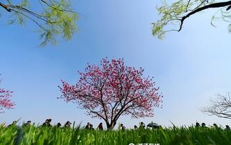 杭州:白堤桃花盛放引客來