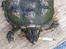 長春一鱷龜染煙癮每日抽10多支