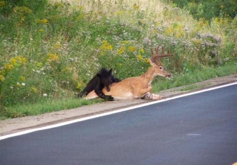 实拍:血腥!鹿被黑熊扑全过程