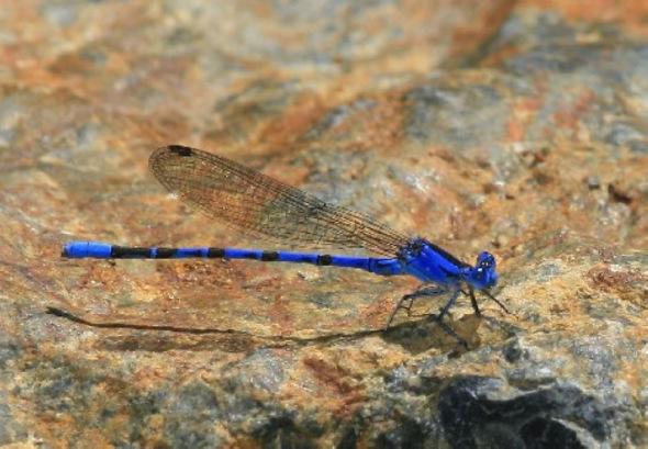 蜻蛉颜色丰富多彩,但蓝色似乎最为常见