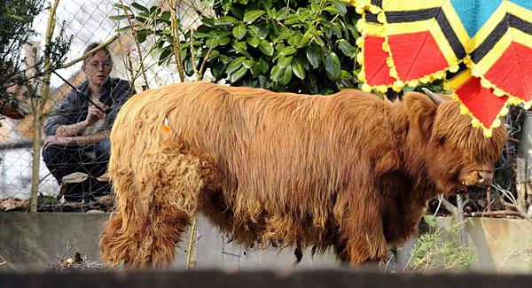 德国 苏格兰高地牛闯入民宅晒太阳引发骚乱