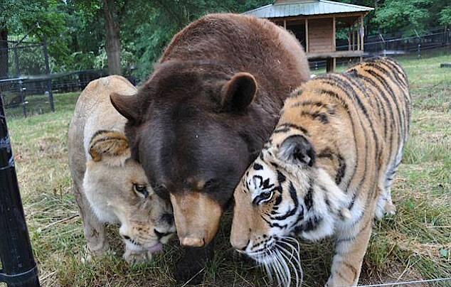 Shere Khan the tiger, Leo the lion and Baloo the bear all live together in a specially-built enclosure at Noah's Ark Animal Rescue Centre, in Georgia,the United States, according to dailymail.com.