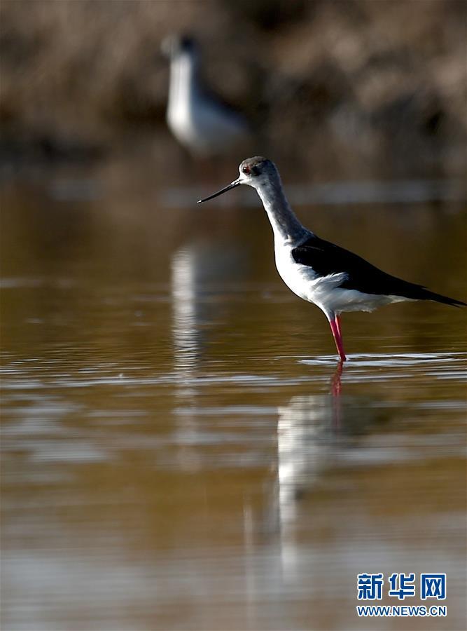 (环境)(3)天津北大港湿地迎来大批迁徙候鸟