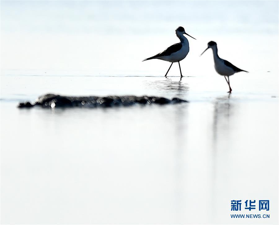 (环境)(4)天津北大港湿地迎来大批迁徙候鸟