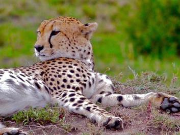 高清:探訪馬賽馬拉保護區裏的野生動物