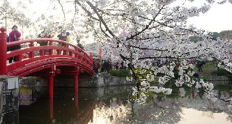 又是一年櫻花季 武漢櫻花爛漫綻放