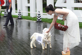 """白衣""""牧羊女""""北京CBD遛羊"""