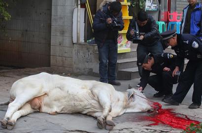 昆明一瘋牛街頭狂奔 被警方圍堵馬路邊擊斃