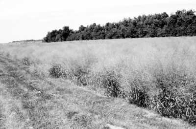柳枝稷,一种在美国大平原地区非常常见的北美本土植物.-合成燃料