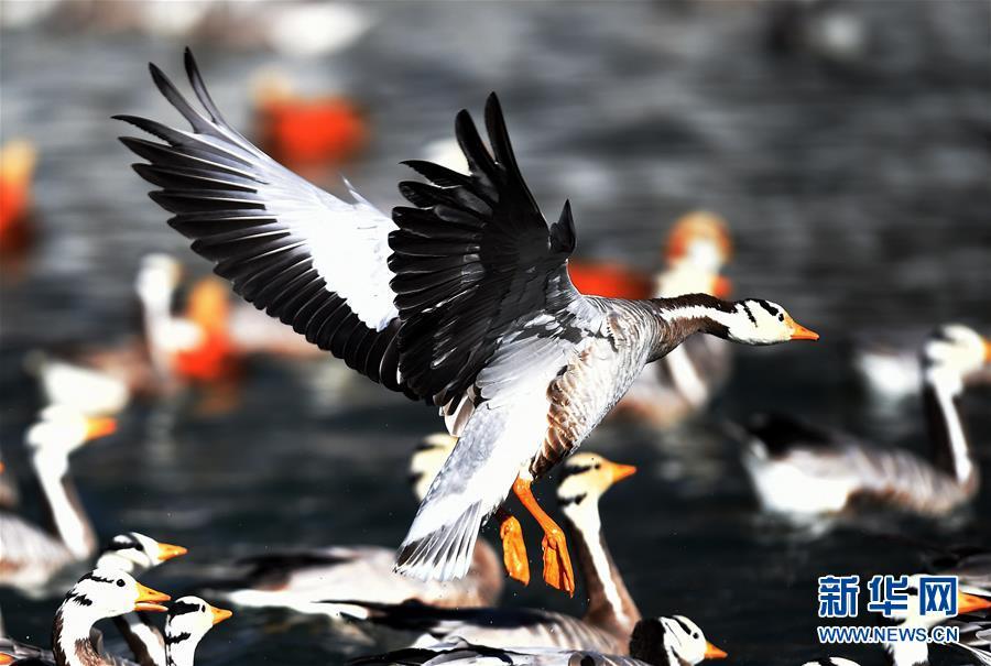 斑头雁:冬后将迁徙至藏北