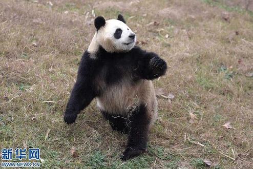 大熊猫,中国的国宝