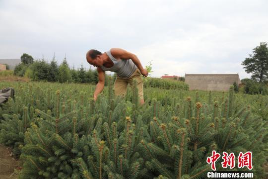 图为农户种植的苗木。