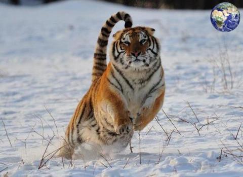 上最大的猫科动物无疑就是虎了