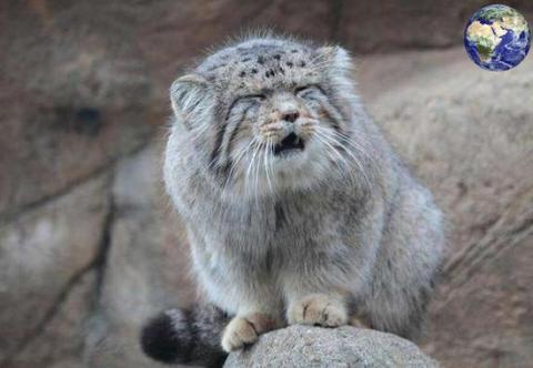 兔狲也是一种小型猫科动物,这种猫科动物的皮毛十分珍贵,长久以来