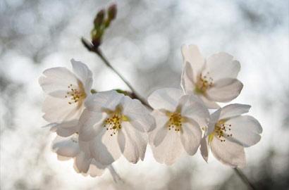 【畫刊】又到櫻花爛漫時