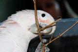 瑞士鸚鵡會制作工具