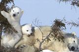 北極熊幼崽嬉鬧
