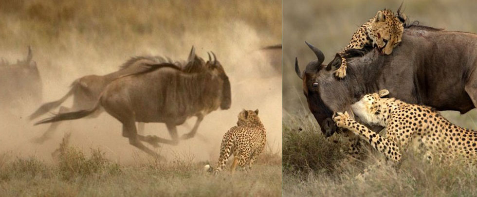 """東非獵豹艱辛獵殺羚羊 """"戰果""""被鬣狗偷食(組圖)"""