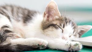 貓咪懶洋洋可能犯了關節炎