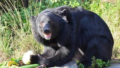 受伤黑熊溜进校园