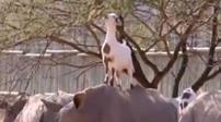 南非:山羊吃樹葉 踩著犀牛背