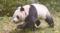 全球首次同時放歸兩只雌熊貓