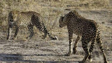 陌生獵豹之間的對決