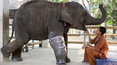 暖心!泰大象誤踩地雷被截肢 裝假肢重獲新生
