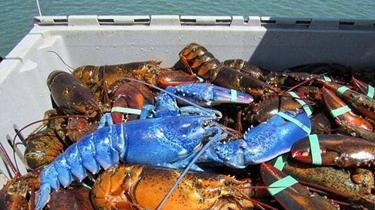 漁民捕獲藍色龍蝦 概率200萬分之一