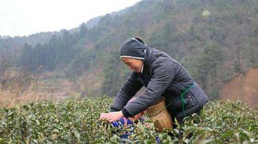 春茶迎來採摘旺季