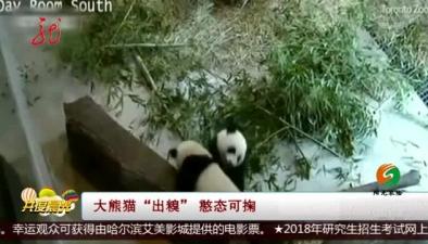 """大熊貓""""出糗"""" 憨態可掬"""