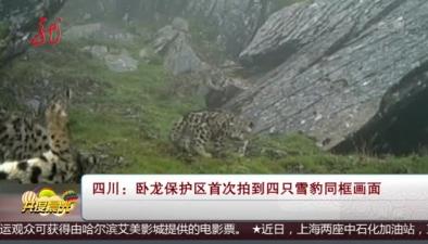 四川:臥龍保護區首次拍到四只雪豹同框畫面