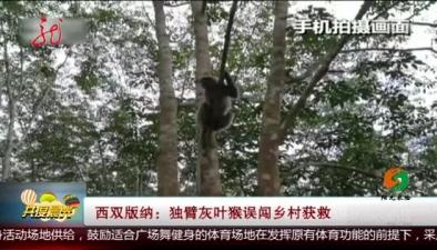 西雙版納:獨臂灰葉猴誤闖鄉村獲救