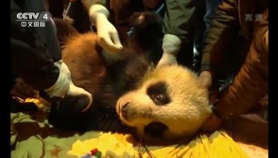 四川眉山:大熊貓生病 自己到村民家求助