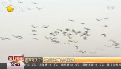 錦州成為灰鶴越冬主要棲息地