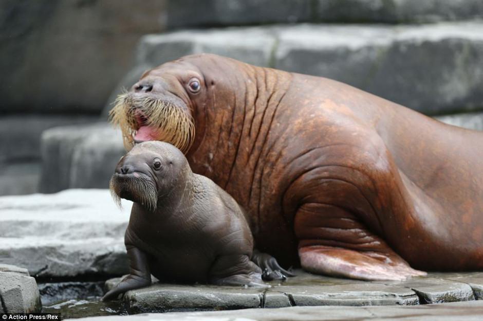 德动物园海象妈妈向游客 炫耀 新生宝宝