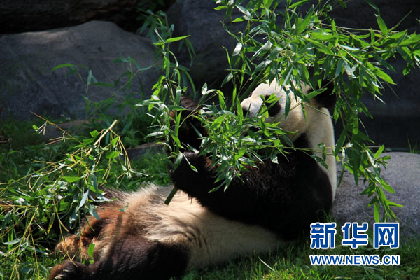 """多伦多动物园将为旅加大熊猫举办""""中秋国宝慈善晚宴""""(图)"""