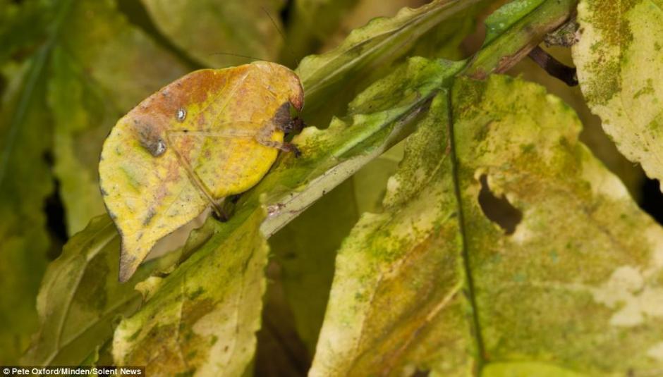 图为一只昆虫伪装成黄树叶,远远望去几乎认不出来.