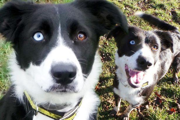 英国一牧羊犬两眼不同色无人认领