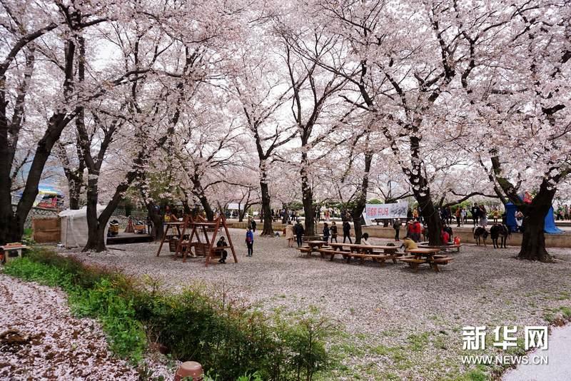 游人在庆和站樱花树下休息