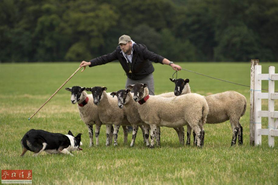 英国举办牧羊犬竞赛 呆萌小羊抢镜