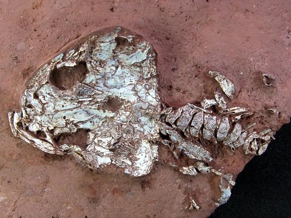 现2亿年前两栖动物化石,形似墨西哥蝾螈.(网页截图) 据智利《