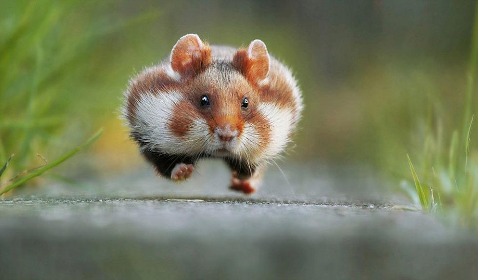 """"""",竞夺自然与野生动物类大奖,图里的这只仓鼠我们可能已经非常"""