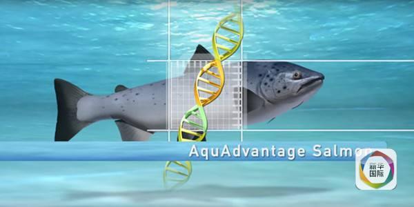 """""""我们的海洋被过度捕捞"""",而转基因动物提供了一种""""安全,可持续的备选"""