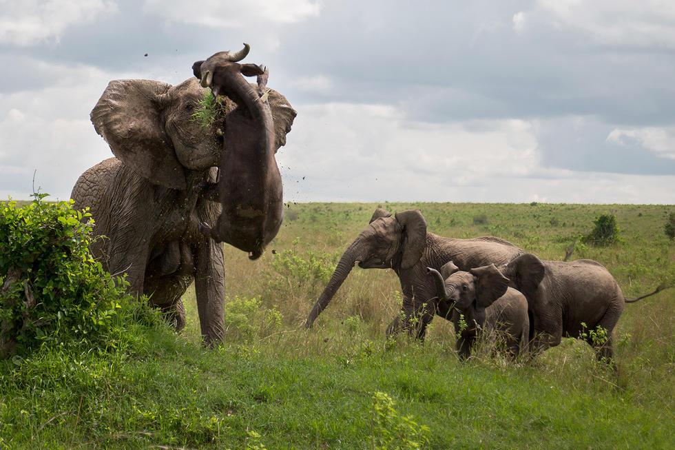 暴走大象轻松抛起并杀死水牛