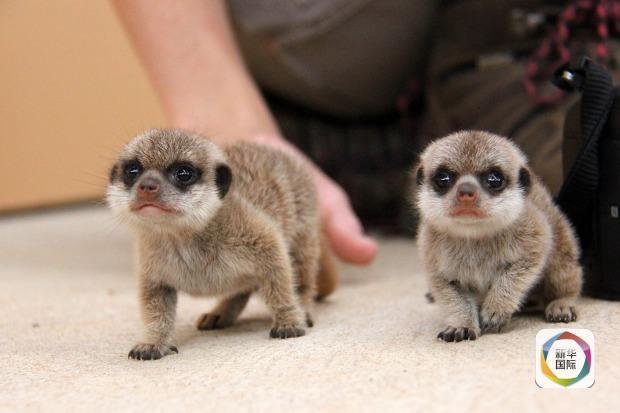 新华网北京2月5日电 据澳大利亚悉尼塔朗加动物园4日发布的消息,上月两只狐獴在该园出生,它们是塔朗加动物园7年来首次降生的狐獴,小家伙非常惹人喜爱。   据塔朗加动物园饲养员考特尼马奥尼介绍,1月7日两只狐獴在该园出生,目前各项生理指标都很正常,这两个小家伙生活在塔朗加动物园非洲馆狐獴区,它们已经尝试走出自己的巢穴,一开始比较胆小,对外界很警惕,不敢走太远。不过它们在父母的鼓励下变得胆大起来,开始探索外面的世界。    马奥尼称,它们非常健康,刚出生时才几克重,现在已经120克,并且能吃面包虫等固体